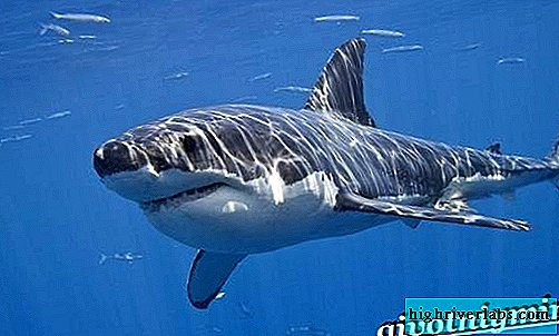 Great white shark. Great White Shark Lifestyle and Habitat
