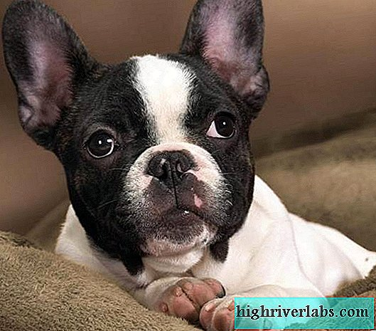 Boston Terrier dog. Description, features, care and price of the Boston Terrier