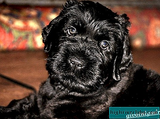 Black terrier dog. Description, features, care and price of the breed black terrier