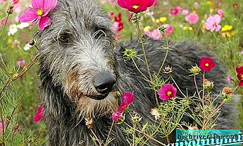 Deerhound dog. Description, features, care and price of the dirhound