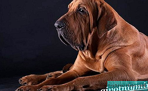 Fila brasileiro dog. Description, features, care and price of fila brasileiro
