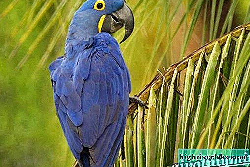 Hyacinth Macaw Parrot. Hyacinth macaw lifestyle and habitat