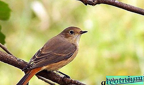 Redstart bird. Redstart bird lifestyle and habitat