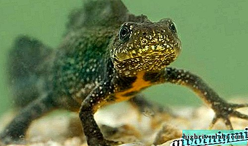 Comb Newt. Lifestyles and habitat of combed newt