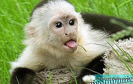 Capuchin monkey. Capuchin monkey lifestyle and habitat