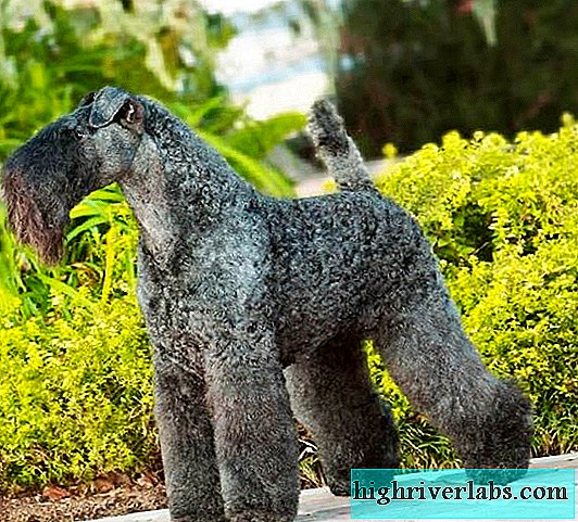 Kerry Blue Terrier Dog. Description, features, care and price of Kerry Blue Terrier