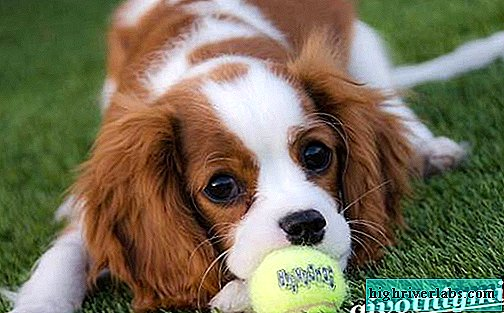 King Charles Spaniel. Description, features, care and price of King Charles Spaniel