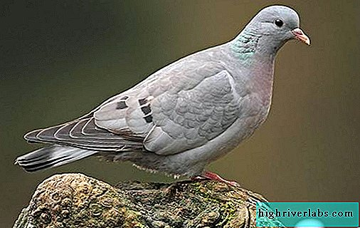 Klintuh bird. Description, features, types, lifestyle and habitat of the clintukha