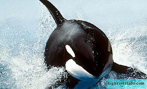 Killer whale. Orca lifestyle and habitat