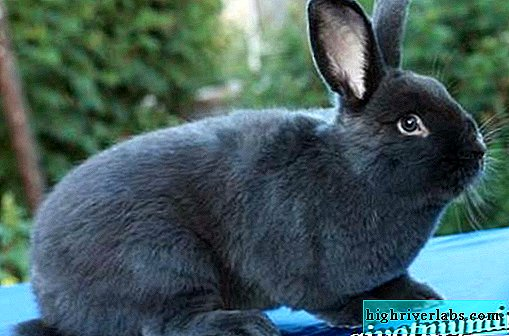 Viennese blue rabbit breed. Description, care and nutrition of the Viennese blue rabbit