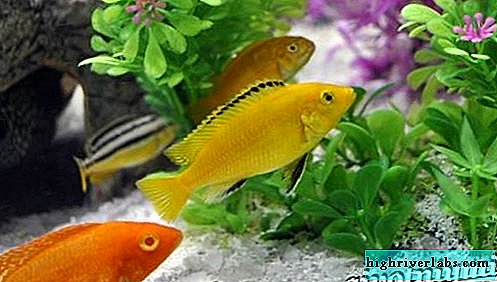 Labidochrome fish. Description, features, content and price of fish labidochromis