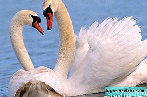 Swan bird. Swan lifestyle and habitat