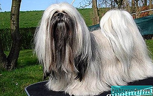 Lhasa Apso. Breed Features and Lhasa Apso Care