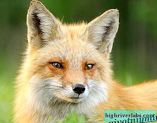Fox animal. Fox lifestyle and habitat