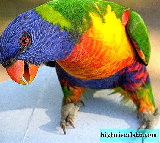 Lorikeet is a parrot. Lorikeet parrot lifestyle and habitat