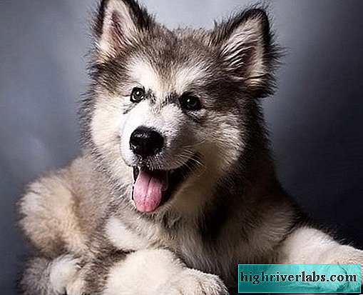 Malamute. Details about the breed, price and care of malamute