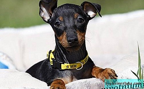 Manchester Terrier dog. Description, features, care and price of Manchester Terrier