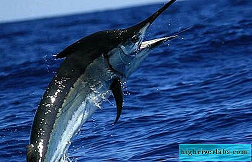 Marlin fish. Description, features, types and fishing of marlin