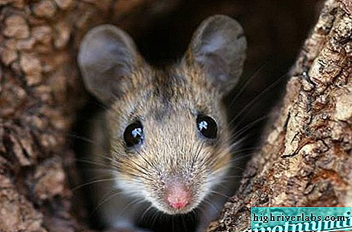 Mouse animal. Mouse lifestyle and habitat