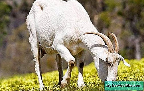 Dairy breeds of goats. Names, descriptions, care and maintenance