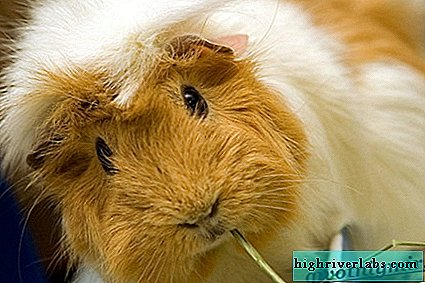 The guinea pig. Description, features, care and price of guinea pigs
