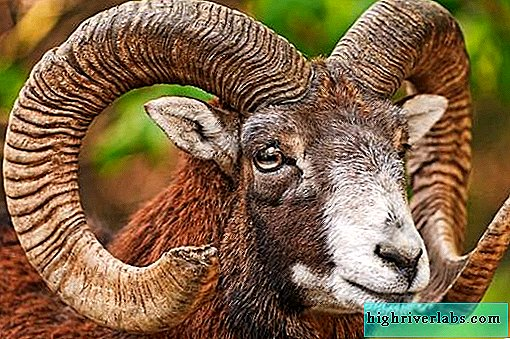 Mouflon animal. Habitat and features of the mouflon