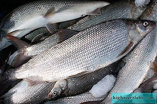 Nelma fish. Description, features, lifestyle and habitat of nelma fish