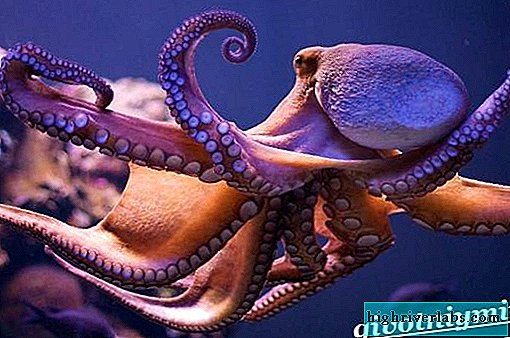 Octopus animal. Octopus lifestyle and habitat