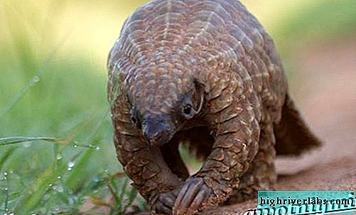 Pangolin animal. Pangolin lifestyle and habitat