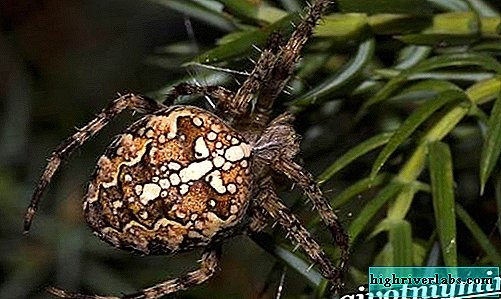 Spider cross. The lifestyle and habitat of the spider spider