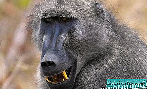 Baboon monkey. Baboon lifestyle and habitat
