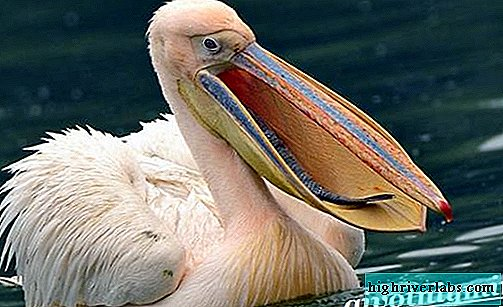 Pelican bird. Pelican lifestyle and habitat