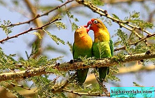 Lovebirds parrots their features and care