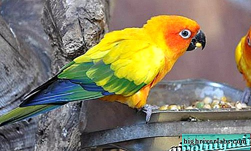 Aratinga Parrot. The lifestyle and habitat of the Arthingus parrot