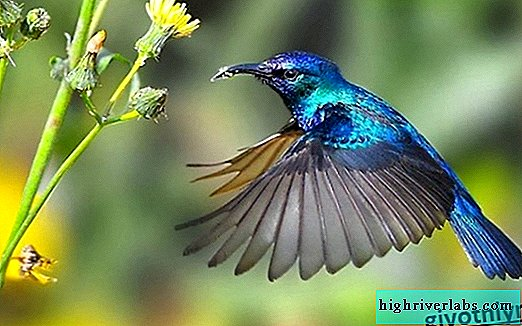 Hummingbird bird. Habitat and Hummingbird Features