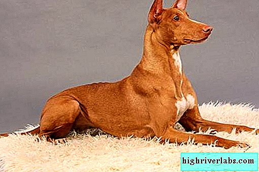Rare dogs. Description and features of rare breeds of dogs