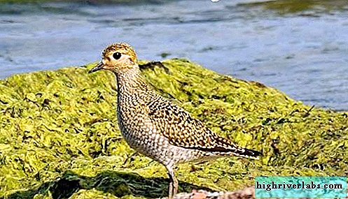 Plover bird. Plover lifestyle and habitat