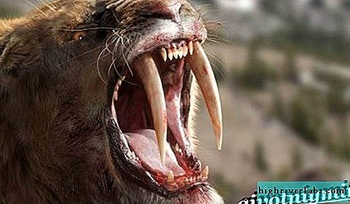Saber-toothed tiger. Description, features, habitat of saber-toothed tigers