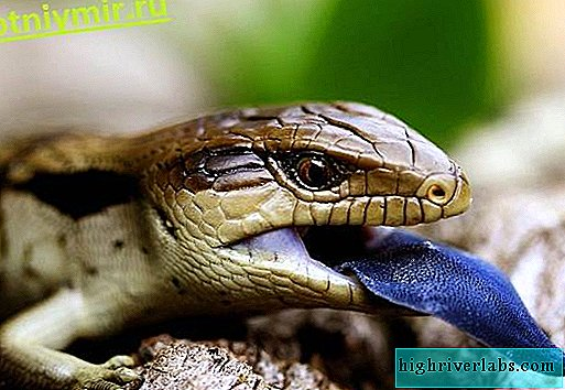 Skink. Description and features of the skink