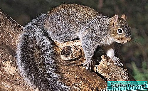 Gray squirrel. Squirrel lifestyle and habitat