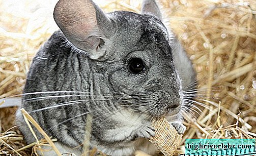 Chinchilla animal. Descripción, características y cuidados de la chinchilla.