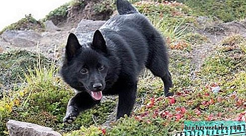 Schipperke is a breed of dog. Features, price and care for shipperke