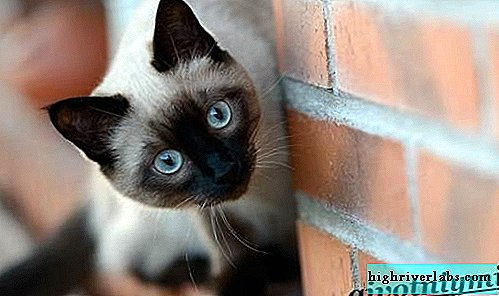 Siamese cat. Features, lifestyle and care for a Siamese cat