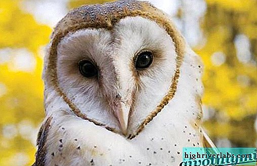 Barn Owl bird. Barn Owl lifestyle and habitat