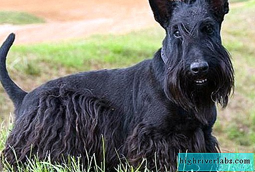 Scotch terrier dog. Description, features, types, care and price of Scotch terrier breed