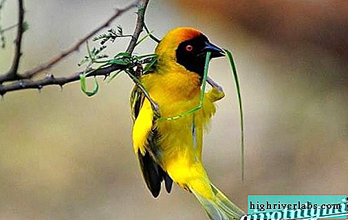 Weaver bird. Weaver bird lifestyle and habitat