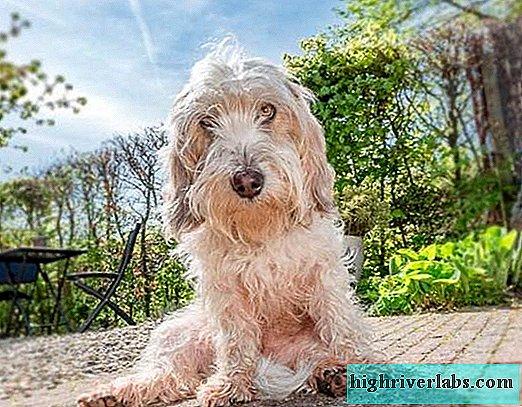 Descoperiți rasa de câine numită Gascony Blue Basset | Lumea câinilor