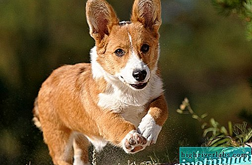Welsh Corgi. Description, price and maintenance of the Welsh Corgi Pembroke breed