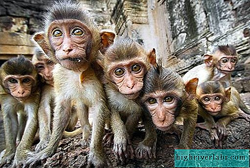 Species of monkeys. Description, names and characteristics of species of monkeys