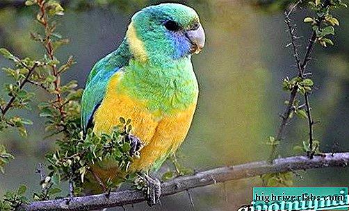 pierderea în greutate alexandrină papagal